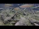 Меченосцы в естественной среде обитания