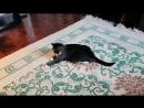 кошкабориска, полнушка, совсем ленится прыгать за лазером, пополу пузом скользит!