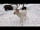 Покормил редкого оленя-альбиноса (VIDEO ВАРЕНЬЕ)