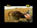 Охота на фазана с легавыми собаками. Астраханская область