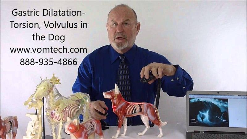Заворот желудка у собак (висцеральная и лазеротерапия) / Gastric Dilitation Torsion and Volvulus in the Dog