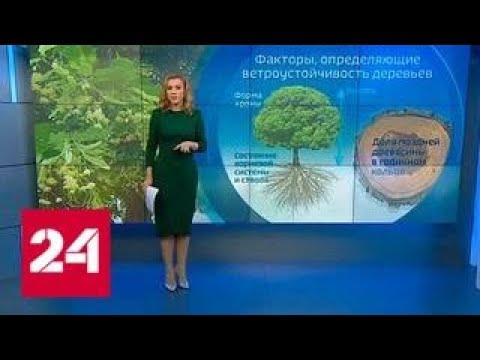 Деревья во время урагана: как определить, что ствол скоро рухнет? - Россия 24