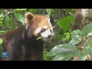 Братья меньшие «бамбуковых медведей»