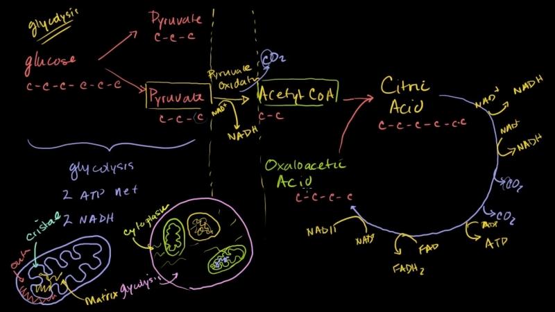 Krebs _ citric acid cycle _ Cellular respiration _ Biology _ Khan Academy