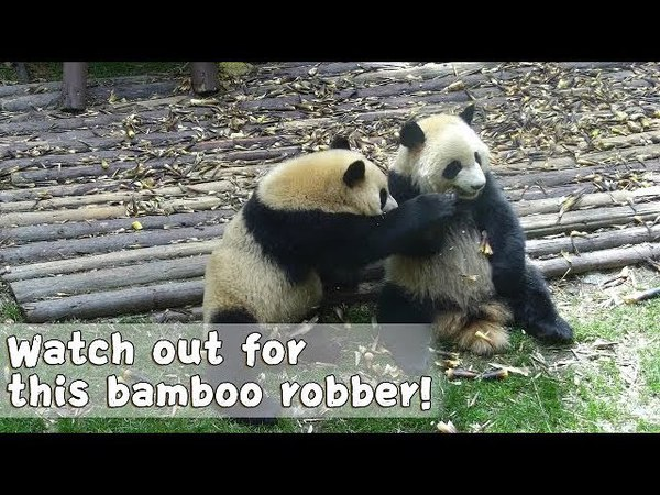 How Many Times Can Xing Hui Steal Fu Shun's Bamboo In Just 20 Seconds? | iPanda