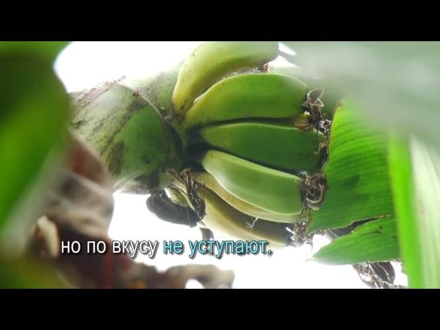 Бананы в Кыргызстане