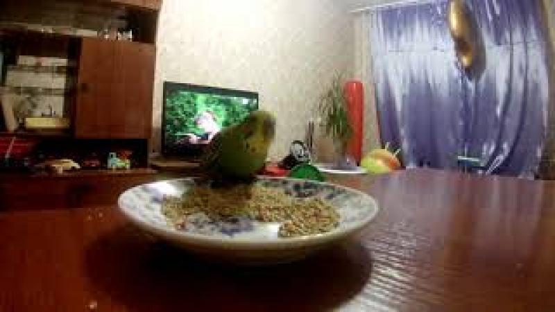 волнистый попугай Сёма кушает