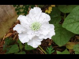 ABC TV | How To Make Scabiosa Flower From Crepe Paper - Craft Tutorial