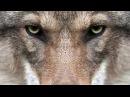 Волчья кровь песня 2017