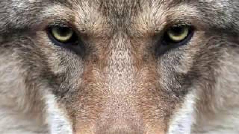Волчья кровь - песня 2017