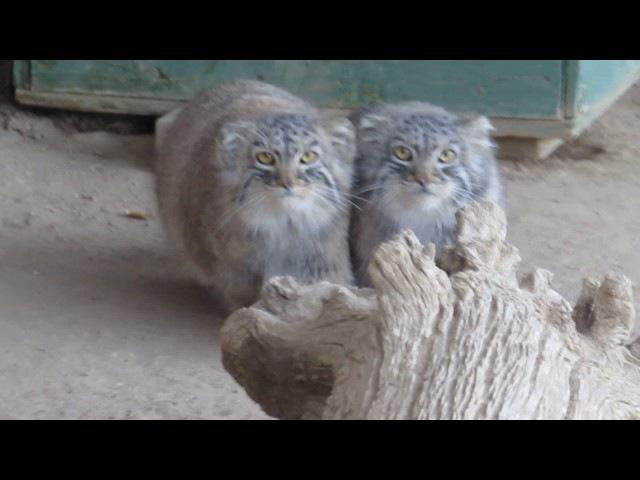 Pallas Cats kittens at 6.5 months