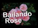 Bailando Rose