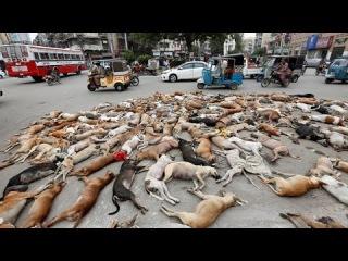 Пакистан, Карачи, бродячих собак утилизируют грузовиками.
