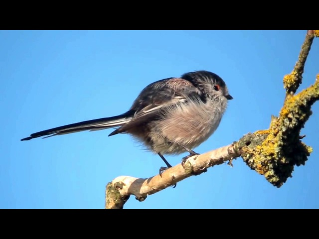 Пение птиц. Длиннохво́стая сини́ца (Aegithalos caudatus).