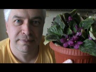 Видео про цветок фиалку, корни сгнили у фиалки