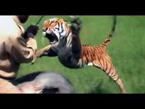 TIGER ATTACKS AN ELEPHANT WITH A MAN!WATCH ALL!!!