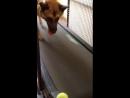 Беговая дорожка для собаки. Тренировка с мячиком.