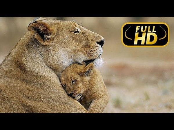Последние Львы. Изгнанная Львица / FULL HD - Документальный фильм 2018 на Amazing Animals TV » Freewka.com - Смотреть онлайн в хорощем качестве