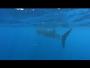 Купание с китовыми акулами.