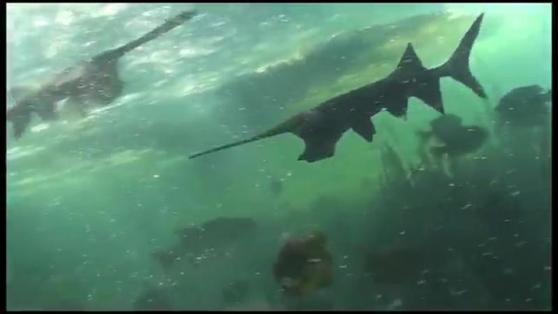 Five Oceans @allfiveoceans - Эта странная рыба пережила катастрофу, которая убила Динозавры (К–Т вымирание ,66 миллионов лет