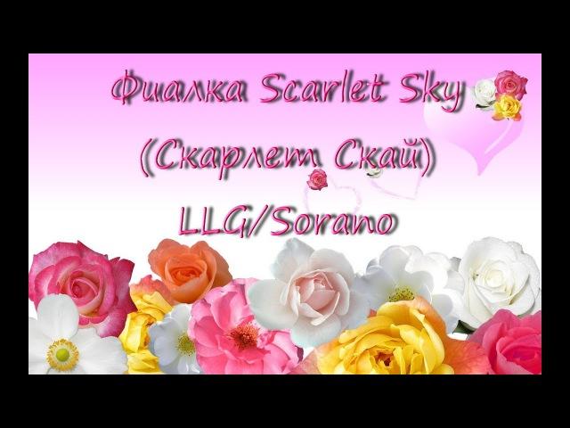 Фиалка (сенполия) Scarlet Sky (Скарлет Скай) LLGP. Sorano