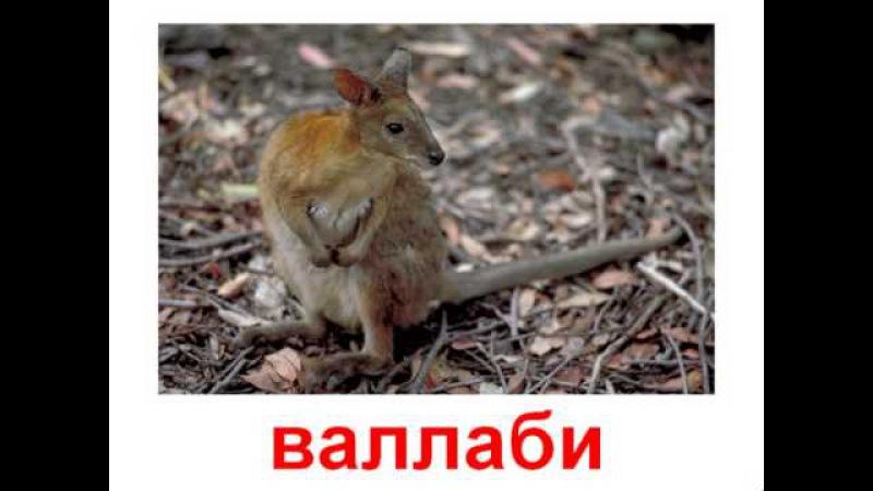 Животные сумчатые ! Карточки Домана ВИДЕО