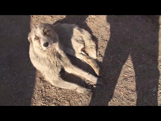 Спасение 40. Собака с оторванной лапой. Город Улан-Удэ.