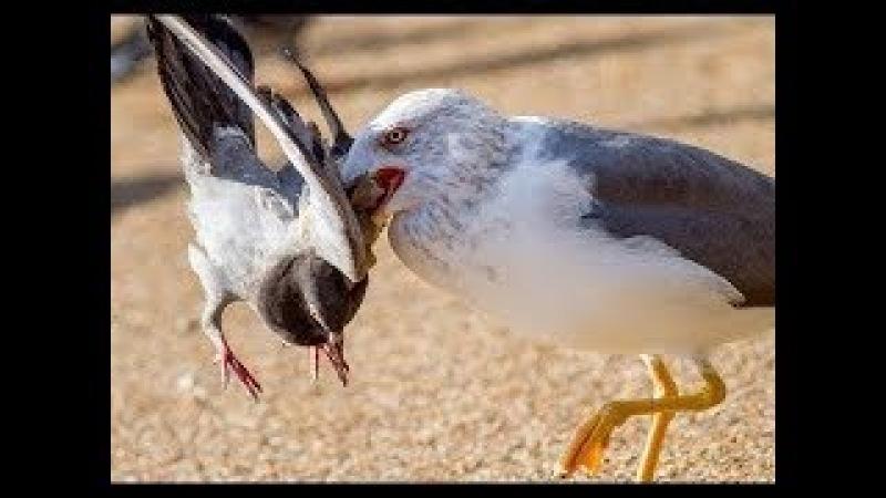 Chim Tấn Công Chim Chim Ăn Rắn Các cuộc tấn công loài chim