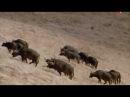 Война Львов. Жизнь и Охота льва на Буйвола. Дикая природа. Документальные Фильмы ...