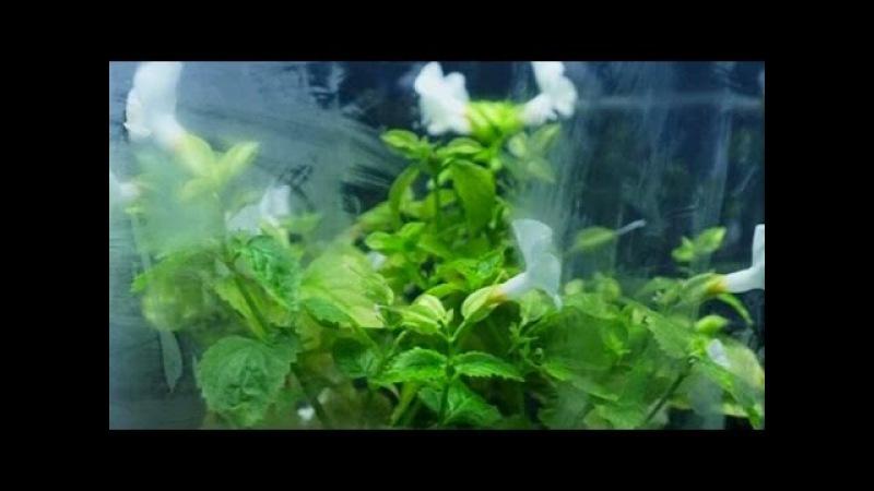 В Токио представили светящийся в ультрафиолете цветок (новости) 9kommentariev.ru/