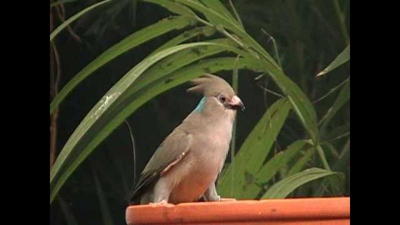 Blue-naped Mousebird / Синешапочная птица-мышь / Urocolius macrourus