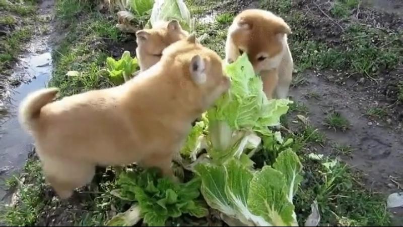 Свирепое нападение стаи собак на кочан капусты 😁