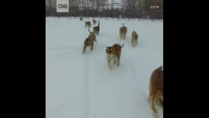 Tigers chasing the drone