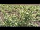 Секреты выращивания крупного крыжовника