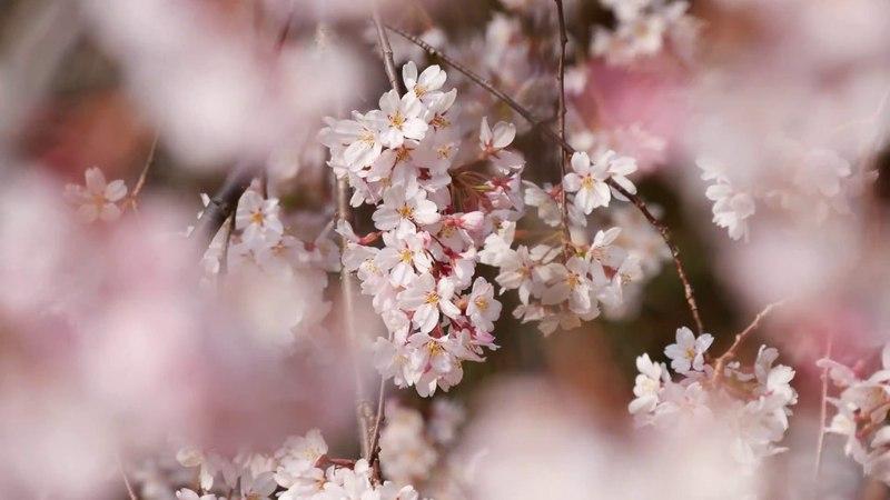 [4K] 2018年03月25日 京都御苑 桜 Kyoto-gyoen Cherry blossoms (Kyoto, Japan)