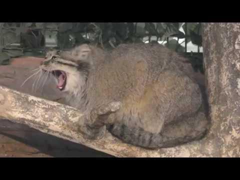 Манул Полли («Королевство животных Насу») 29 апреля 2018 г. [動物園フレンズちゃんねる Zoo Friends Channel]