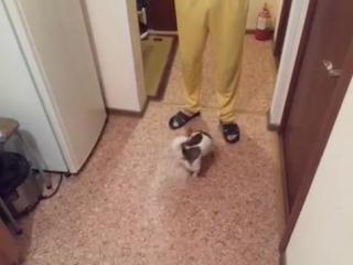 Чихуахуа Фунтик выполняет команды (Chihuahua Funtik executes commands)