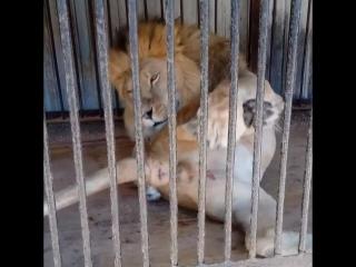 лев ананист😂😂😂