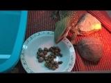 Капский варан(Капушик) есть улиток