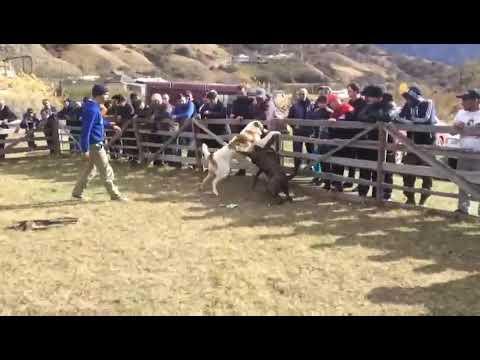 Къаплан против Алабая собачьи бои