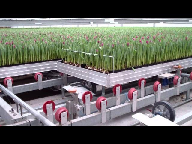 ЗАВОД ПО ВЫРАЩИВАНИЮ ТЮЛЬПАНОВ. tulpen automatisering