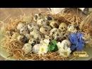 Перепелиные яйца. Контрольная закупка. Выпуск от27.06.2017