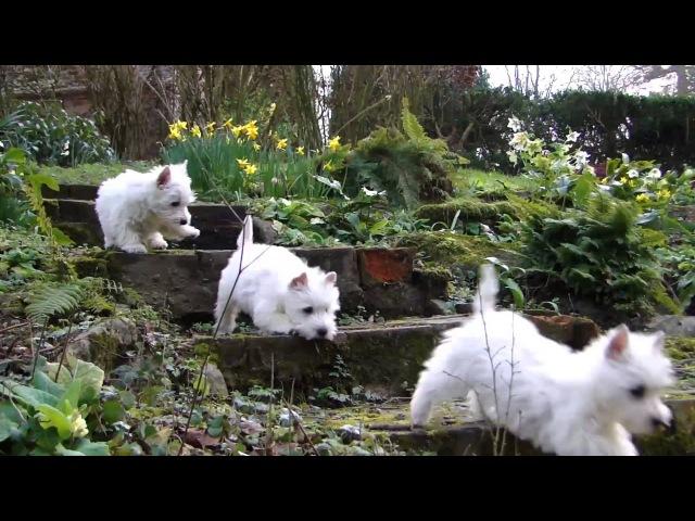 Puppy Playtime - Westie pups have fun in the garden