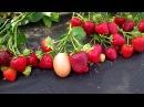 Вибрант ранний урожайный сорт клубники Беларуси саженцы в Витебске