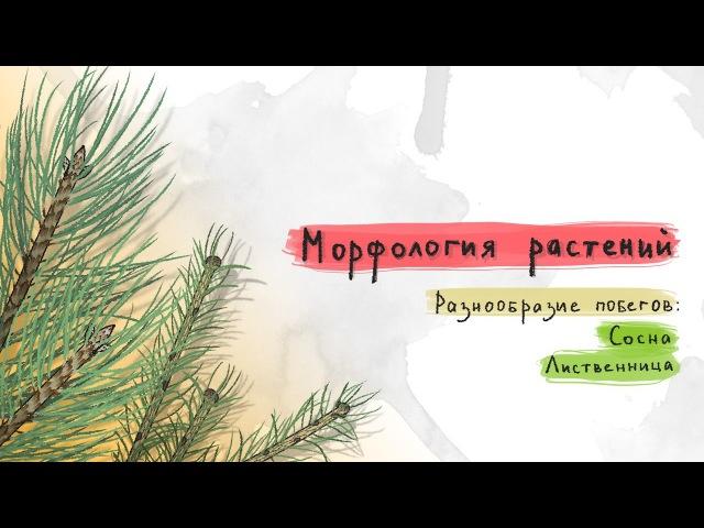 Разнообразие побегов сосна, лиственница. Морфология растений - 6