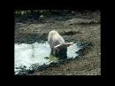 Haltiala -Lehmä sika