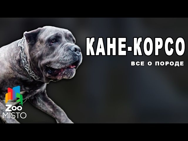 Кане Корсо Все о породе