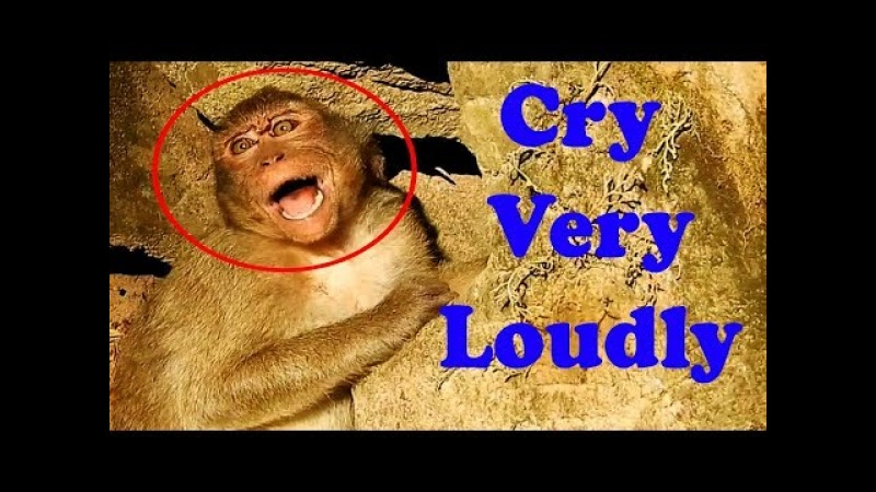 Cry Cry Cry Pity Lori Baby Monkey And Teenage Monkey Crying - What Happened With Monkeys?