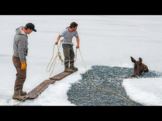 Man Ice Skaters Recuse A Moose Trapped In A Frozen Lake | Recuse Animals
