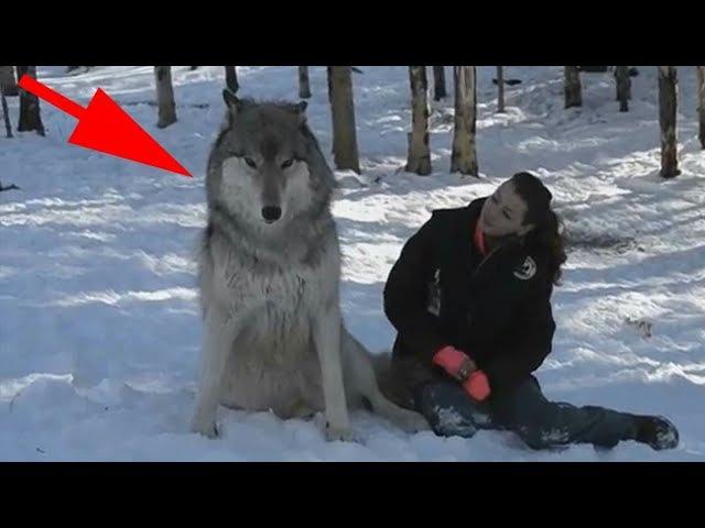 Волк подошел к девушке и присел рядом все замерли в ожидании…